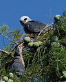 White-tailed Kite and Blue Jay.jpg
