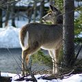 White-tailed doe.jpg