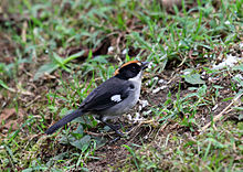 White-winged Brush-Finch, Tandayapa, Ecuador (5771791640).jpg