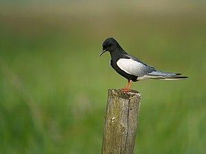 White-winged Tern, Mścichy, Biebrzański Park Narodowy, Polska 2.jpg