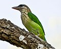 White Cheeked Barbet or Small Green Barbet (7101972711).jpg