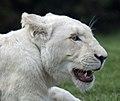 White Lion 7 (5017752823).jpg