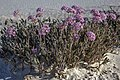 White Sands National Monument - New Mexico - dawn in the desert - hardy, sand encrusted flowers - (17480680453).jpg