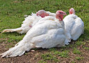 White turkeys.jpg