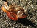 Whiteface Waspfish - Richardsonichthys Leucogaster.jpg