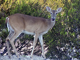White-tailed deer - Female white-tailed deer (doe)