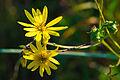 Whorled Rosin-weed (Silphium trifoliatum) (21321344552).jpg