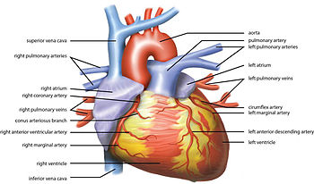 Heart rate - Wikipedia