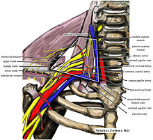 Wikipedia medical illustration thoracic outlet syndrome brachial plexus anatomy with labels.jpg