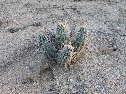 Hedgehog cactus growing in the wild Wild Hedgehog Cactus Sahuarita Arizona 2013.jpg