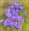 Wild Iris (198061849).jpeg