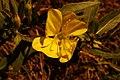 Wild Mustard flower.jpg