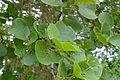 Wild Pear (Dombeya rotundifolia) (17169511169).jpg