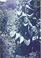 Wild cherimoya plant Vilcabamba Ecuador.jpg