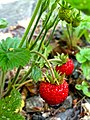 Wild strawberries.jpg