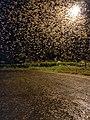 Winged termites swarming IMG 20201021 191749.jpg