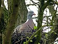 Wood Pigeon Nest 29-03-11 (5572133200).jpg