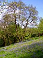 Woodland scene with bluebells - geograph.org.uk - 1318824.jpg