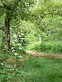Woodland trail and foxglove - geograph.org.uk - 844486.jpg