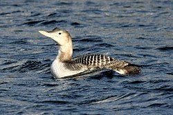 Yellow-billed Loon.jpg