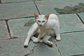 Yellow-eyed white kittikat.jpg