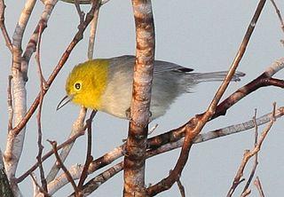 Yellow-headed warbler species of bird