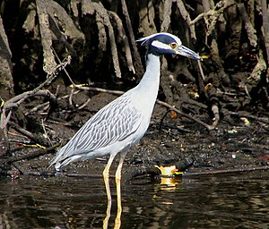 Jonathan Dickinson State Park - Image: Yellow Crowned Night Heron