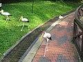 Yellow billed stork (7856530924).jpg