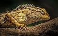 Yellow lizard scaly wpoty 1.jpg