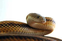 Yellowratsnake-1-.jpg