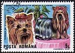 Yorkshire-Terrier-Canis-lupus-familiaris Romania 1990.jpg