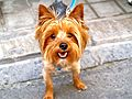 Yorkshire Terrier portrait.jpg