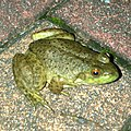 Young Bull Frog on the ground - 1.jpg