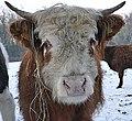 Young Galloway Bull (24428132282).jpg