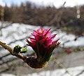 Young Larix gmelinii cone, Buryatia, eastern Siberia.jpg