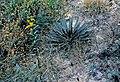 Yucca filamentosa fh 1182.2 NC B.jpg