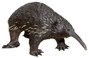 Eastern long-beaked echidna - Zaglossus bartoni (replica at MUSE - Science Museum in Trento)