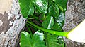 Zantedeschia odorata 26062481.jpg
