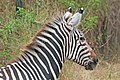 Zebra portrait2.jpg