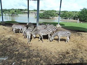 Safari World - Zebras at Safari World
