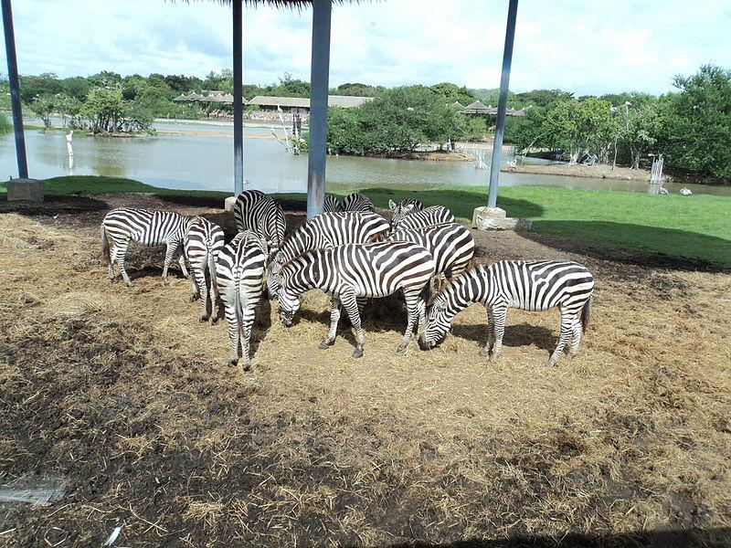 File:Zebras- safari- bangkok.JPG