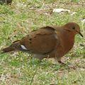 Zenaida aurita 971 Guadeloupe.jpg