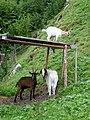 Ziegen im Tal der Feitelmacher, Trattenbach (7).jpg