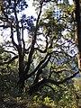 Zig Zag Oak (5275934868).jpg