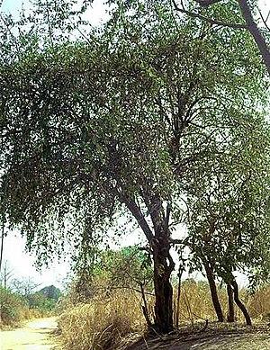 Trees of India - Image: Ziziphus mauritiana 1