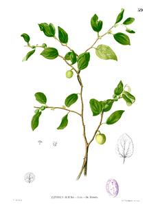 Jujube - Wikipedia