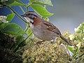 Zonotrichia capensis Gorrión copetón Rufous-collared Sparrow (15095208892).jpg