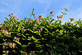 'Lonicera periclymenum' ~ Honeysuckle at Nuthurst, West Sussex, England 02.JPG