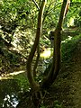 'U' Tree at the side of Mill Beck - geograph.org.uk - 1000327.jpg