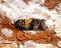 (0987) Ptycholomoides aeriferana (28370159700).jpg
